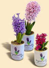 Květiny v plechovce - hyacint
