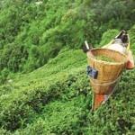 Květinový čaj postup výrobce při výrobě